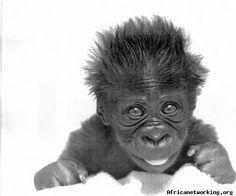 Magnifique bébé gorille d'Afrique... Photography: baby gorilla in Africa