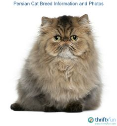 This is a guide about Persian cat breed information and photos. These long haired beauties are an old breed, originating in the middle east.