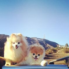 Boo and Buddy in Hollywood! Don't they look so happy?!