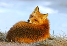 Red fox woke up