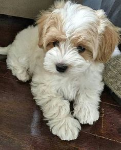 Pin for Later: 25 Adorable Dog Hybrids You Had No Idea Existed Maltipoo: Maltese + Poodle Dog breeds of all kinds. Different characteristics of different breeds. Cute Baby Animals, Funny Animals, Funny Dogs, Funny Puppies, Havanese Puppies, Maltese Poodle Puppies, Havapoo Puppies, Havanese Grooming, Teacup Puppies