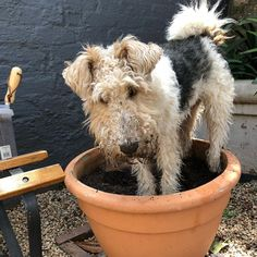 "131 Likes, 31 Comments - Albert & Sebastian (@albert.sebastian.adventures) on Instagram: ""Potted foxterrier. Every garden should have one. #wirehairedfoxterrier #wirefoxterrier…"""