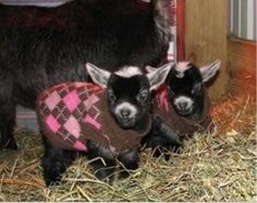 Here's a picture of baby goats in sweaters! Your welcome