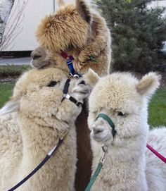Alpacas. Goal to have one for each kid.