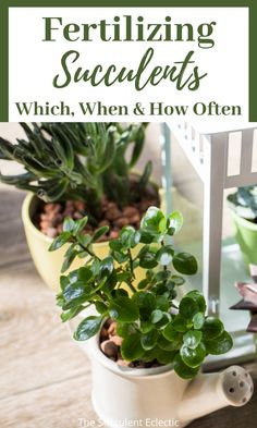 Learn all about fertilizing succulents! What's the best succulent fertilizer, how and when to use it! Pin now and read later - Your succulents will love it! #succulentfertilizer #fertilizerforsucculents