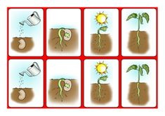 Science worksheet for Plants and Flowers topics - sequencing growing a bean. Uses widgit symbols and pictures for a 4 part sequencing task. Ideal for SEN and early years. Can use pictures alone to sequence or sequence with description provided. Sequencing Worksheets, Sequencing Cards, Science Worksheets, Eyfs Activities, Spring Activities, Characteristics Of Effective Learning, Plant Lessons, Growing Beans, Summer Camp Themes