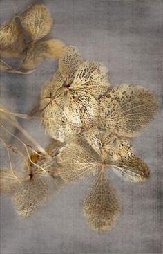 Le temps fait dans la dentelle. / Hortensia séché. / Dried hydrangea. / By Amy Simmons.