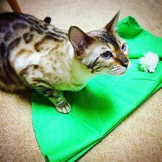"""Stop making a costume for big sis!  Here is a toy for you so play with me"" said Yuki 🐱 「お姉ちゃんのコスチュームはいいから、私と遊んで〜〜!!」とゆき🐱 #今日のゆき2017年 #todaysyuki2017  #愛猫 #スノーベンガルゆき #ベンガル #ベンガル猫 #猫 #ねこ #にゃんこ #にゃんすたぐらむ #可愛い #ブルーアイ #豹猫 #綺麗  #mycat #bengalyuki #snowbengal #bengal #bengalcat #cat #catsofinstagram #catlover #ilovemycat #cutecat #beautiful #blueeyes #bengalcatworld #ig_bengals"