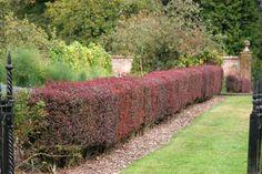 Dracila - Berberis Vulgaris - gardul viu cu frunze cazatoare