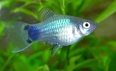 Blue Mickey Mouse Platy.
