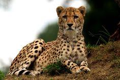 Le guépard a beau courir à 110km/h, il n'est pas assez rapide pour échapper aux conséquences du changement climatique sur la savane.