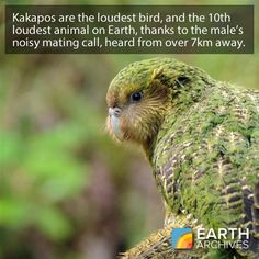 Kakapos are the loudest parrot and the loudest bird on the planet. They are also flightless and have a fondness for attempting to mate with humans.
