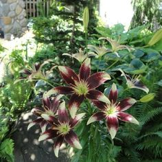 I have these Lilies Lily Garden, Auburn, Outdoor Living, New Homes, Gardens, Flowers, Plants, Beautiful, Outdoor Life