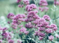 15 Pretty and Fragrant Perennials - Garden Lovers Club Herbaceous Perennials, Shade Perennials, Flowers Perennials, Pretty Flowers, Colorful Flowers, Pink Flowers, Bee Balm Flower, Trouble Anxieux, Chocolate Cosmos