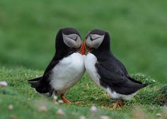 The Atlantic puffin (Fratercula arctica), also known as the common puffin, is a species of seabird in the auk family. It is the only puffin native to the Atlantic Ocean. Pretty Birds, Beautiful Birds, Animals Beautiful, Amor Animal, Mundo Animal, Animals And Pets, Baby Animals, Cute Animals, Artic Animals