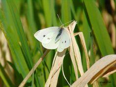 Vlinder : Koolwitje in natuurgebied Medemblik.