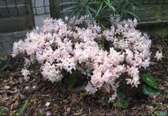 """Rhododendron Ginny Gee. H 12-18"""", W 18-24"""". Blooms in mid spring ."""
