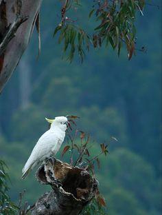 Sulphur-crested Cockatoo, West Pennant Hills, Australia Copyright: Murray Lines