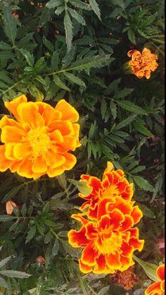 Tagetes popularmente conocido como flor de estudiantes, caléndula enano, clavel francés, rosa y amarillo planta de clavel India nativa de México, herbáceas, hojas verde oscuro con un olor fuerte y flores en los capítulos de colores, más bi-colores amarillo brillante y rojo oscuro.