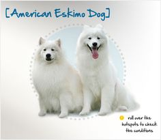 Did you know American Eskimo Dogs once excelled as trick dogs in traveling circuses in the early 1900s? Read more about this breed by visiting Petplan pet insurance's Condition Checker!