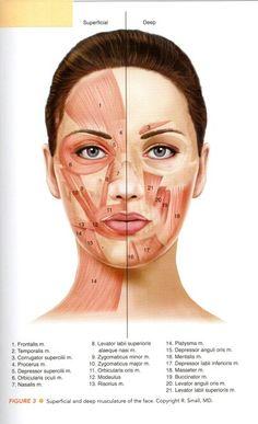Masculature of the face Skin Anatomy, Facial Anatomy, Dental Anatomy, Medical Anatomy, Relleno Facial, Facial Muscles, Muscles Of The Face, Microcurrent Facial, Facial Aesthetics