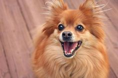 What is a Pomeranian?
