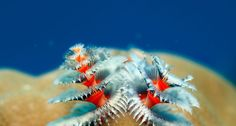 Christmas tree worms growing on coral (© Reinhard Dirscherl/Corbis | Christmas tree worms growing on coral (© Reinhard Dirscherl/Corbis)