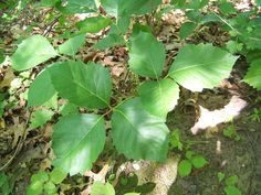 Each year, millions of Americans come in contact with poison ivy, poison oak, or poison sumac. Learn how to recognize their defining features, as well as treat their rashes. Poison Ivy Home Remedies, Toxicodendron Radicans, Can Your Pet, Ivy Look, Poison Oak, Poisonous Plants, How To Level Ground, Bio, Shrubs