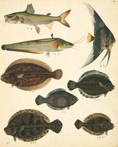 Art - Vintage Fish - Natural History Print