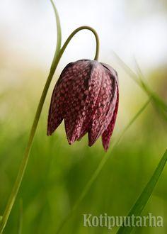 Kirjopikarililjan (Fritillaria meleagris) kukinta ajoittuu toukokuun loppupuolelle. Niiden sipulit kuivahtavat herkästi pussissa, siksi ne kannattaakin istuttaa pian ostamisen jälkeen. Kuva: Hanna Marttinen