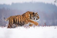 Siberian tiger by Pecka #animals #animal #pet #pets #animales #animallovers #photooftheday #amazing #picoftheday