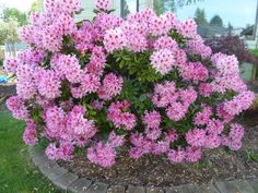 My Life and Garden: The rhododendron and the Kwanzan Cherry are outstanding