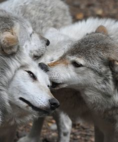 "lambandserpent:    ""Wolves are not our brothers; they are not our subordinates, either. They are another nation, caught up just like us in the complex web of time and life."" ― Henry Beston  by Rob Lovesey"
