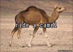 On my bucket list:  ride a camel