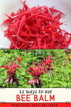 12 Ways to Use Bee Balm - Edible Flowers for Practical Self Reliance Healing Herbs, Medicinal Plants, Holistic Healing, Vermont, Bee Balm Plant, Edible Wild Plants, Birds And The Bees, Wild Edibles, Growing Herbs