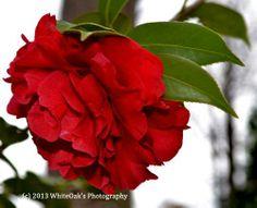 Blood China Camellia