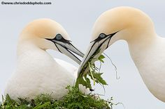 Northern Gannets building their nest.  These are such photogenic birds!