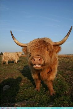 Highland Cow from Scotland