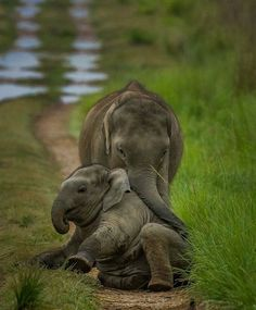 Elephant pictures are the perfect thing to make you smile! We have compiled a list of the top 20 cutest elephant pictures we could find for your entertainment. We guarantee these pictures will make you smile! Cute Elephant Pictures, Elephant Love, Cute Animal Pictures, Cute Baby Animals, Animals And Pets, Funny Animals, Elephas Maximus, Elephant Photography, Save The Elephants
