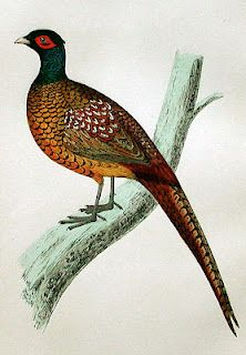 """Pheasant........ we used to have a lot of these beautiful birds in the valley where I live in Oregon.  But the fucking hunters have all but shot them out of existence.  Memories of rides in the country as a kid, seeing them fly up out of 'nowhere' are now a thing of the distant past.  SHAME ON """"SPORT"""" HUNTERS."""