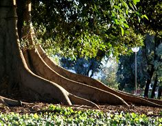 roots of a giant fig tree