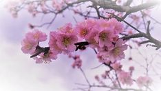 Image Page 63822 Free Pictures, Free Images, Almond Flower, Apricot Blossom, Flowers, Plants, Instagram, Tattoo, Photography