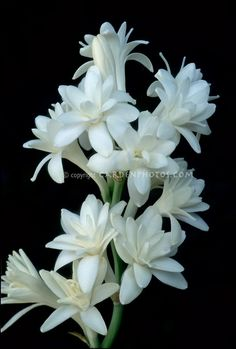 Polianthes tuberosa (Tuberose) 'The Pearl' closeup of blooms on black ...