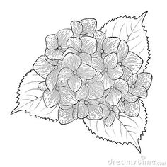 hydrangea illustration free - Google Search