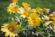 Dew on daisies...