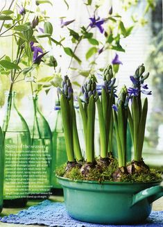 Planting up pots & pans with bulbs for the spring is a brilliant, long-lasting, easy & economical way to bring scent and color indoors. Make sure there is plenty of drainage (gravel, grit, or old pieces of China), keep the compost moist, spray regularly, and drain carefully after watering.