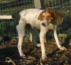KENTUCKY ~ meet Charlie ~ an #adoptable #TreeingWalkerCoonhound #dog in #Stanford, KY. Charlie is no longer at the shelter & has been moved into foster care. This shelter euthanizes weekly due to overpopulation. Thank you for considering a shelter dog. If you are interested in #adopting him e-mail Hillary at hillary_c@bellsouth.net If you're a rescue or adopter please understand that there is only 1 volunteer who monitors this site . Please be patient. Please do not crosspost on Craigs list.