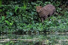 The Fishing Cat (Prionailurus viverrinus) is listed as Endangered in the IUCN Red List, and is a unique example of the great abilities and diversities of the felid family. Fishing Cat, Rare Species, West Bengal, Catfish, Big Cats, Pet Birds, Conservation, Wildlife, Indian