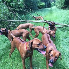When you have your best buddy over Scooby to meet the family. Grandma, Mum and 2 sisters. Happy days ❤️ #projectrr #rhodesianridgeback_feature #rhodesianridgebacksofinstagram #instdogs #instagramdogs #rhodesianridgeback #rhodesianridgeback #liondog #family
