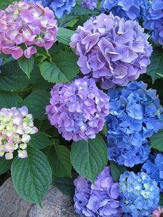Hydrangeas, Shades of Blue